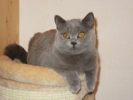 Foto 4 Britisch Kurzhaar Kittens