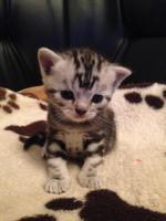 Britisch Kurzhaar Silver tabby Kitten