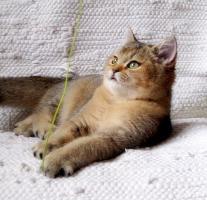 Foto 4 Britisch Kurzhaar goldener Kater mit Papiere