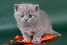 Foto 2 Britisch Kurzhaar / BKH Kitten in blau und lila mit Stammbaum!