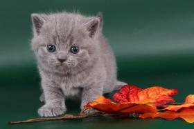 Foto 3 Britisch Kurzhaar / BKH Kitten in blau und lila mit Stammbaum!