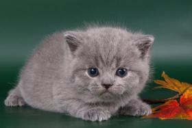 Foto 4 Britisch Kurzhaar / BKH Kitten in blau und lila mit Stammbaum!