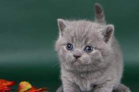 Foto 5 Britisch Kurzhaar / BKH Kitten in blau und lila mit Stammbaum!