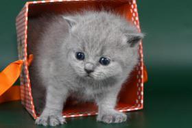 Foto 6 Britisch Kurzhaar / BKH Kitten in blau und lila mit Stammbaum!