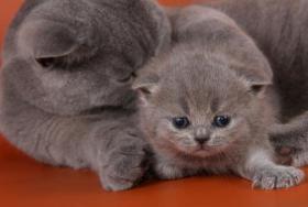 Foto 7 Britisch Kurzhaar / BKH Kitten in blau und lila mit Stammbaum!
