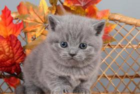 Foto 8 Britisch Kurzhaar / BKH Kitten in blau und lila mit Stammbaum!