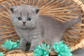 Foto 9 Britisch Kurzhaar / BKH Kitten in blau und lila mit Stammbaum!
