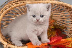 Foto 10 Britisch Kurzhaar / BKH Kitten in blau und lila mit Stammbaum!