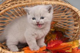 Foto 11 Britisch Kurzhaar / BKH Kitten in blau und lila mit Stammbaum!
