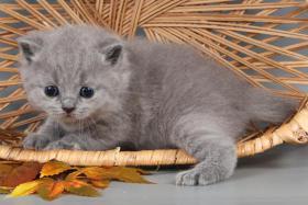 Foto 12 Britisch Kurzhaar / BKH Kitten in blau und lila mit Stammbaum!