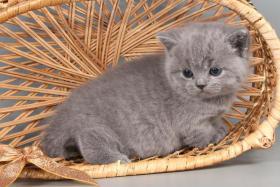 Foto 13 Britisch Kurzhaar / BKH Kitten in blau und lila mit Stammbaum!