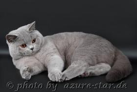 Foto 15 Britisch Kurzhaar / BKH Kitten in blau und lila mit Stammbaum!