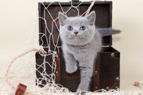 Britisch Kurzhaar / BKH / Kartäuser Kitten in blau mit Stammbaum!