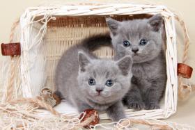 Foto 2 Britisch Kurzhaar / BKH / Kartäuser Kitten in blau mit Stammbaum!