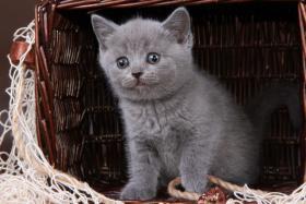 Foto 5 Britisch Kurzhaar / BKH / Kartäuser Kitten in blau mit Stammbaum!