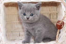 Foto 11 Britisch Kurzhaar / BKH / Kartäuser Kitten in blau mit Stammbaum!
