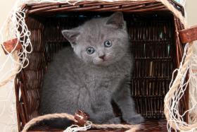 Foto 12 Britisch Kurzhaar / BKH / Kartäuser Kitten in blau mit Stammbaum!