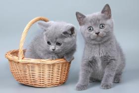 Foto 4 Britisch Kurzhaar / BKH / Kartäuser Kitten in blau mit Stammbaum!