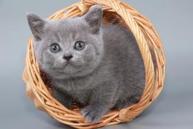 Foto 6 Britisch Kurzhaar / BKH / Kartäuser Kitten in blau mit Stammbaum!