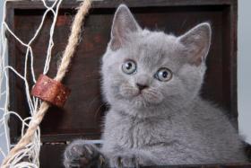 Foto 7 Britisch Kurzhaar / BKH / Kartäuser Kitten in blau mit Stammbaum!