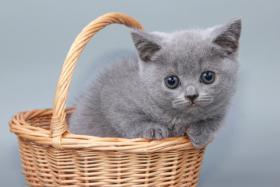 Foto 8 Britisch Kurzhaar / BKH / Kartäuser Kitten in blau mit Stammbaum!
