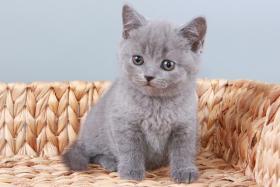 Foto 9 Britisch Kurzhaar / BKH / Kartäuser Kitten in blau mit Stammbaum!