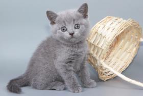 Foto 10 Britisch Kurzhaar / BKH / Kartäuser Kitten in blau mit Stammbaum!