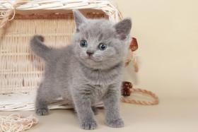 Foto 14 Britisch Kurzhaar / BKH / Kartäuser Kitten in blau mit Stammbaum!