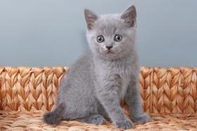 Foto 15 Britisch Kurzhaar / BKH / Kartäuser Kitten in blau mit Stammbaum!