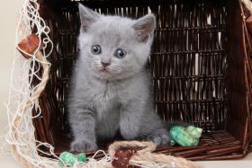 Foto 16 Britisch Kurzhaar / BKH / Kartäuser Kitten in blau mit Stammbaum!