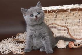 Foto 17 Britisch Kurzhaar / BKH / Kartäuser Kitten in blau mit Stammbaum!