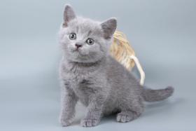 Foto 18 Britisch Kurzhaar / BKH / Kartäuser Kitten in blau mit Stammbaum!