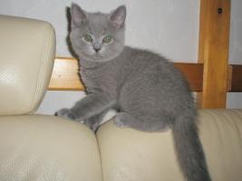 Foto 2 Britisch Kurzhaar -Kätzchen