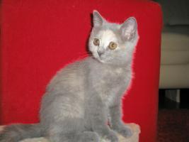 Foto 3 Britisch Kurzhaar -Kätzchen