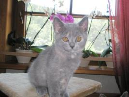 Foto 4 Britisch Kurzhaar -Kätzchen