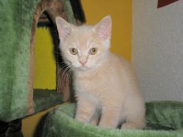 Foto 5 Britisch Kurzhaar -Kätzchen