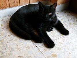 """Britisch Kurzhaarkätzchen (BKH) in den seltenen Farben: """"Black"""" und  """"Lilac"""" abzugeben"""