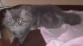 Britisch Langhaar Katze, m.Papieren, nicht kastriert