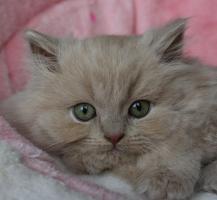 Britisch Langhaar Kitten in fawn