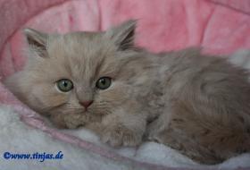Foto 2 Britisch Langhaar Kitten in fawn