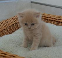 Britisch Langhaar Kitten zu vergeben