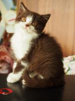 Foto 3 Britisch kurzhaar Kätzchen
