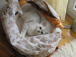 Britisch silberne Kätzchen mit Papiere