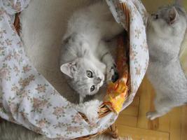 Foto 2 Britisch silberne Kätzchen mit Papiere