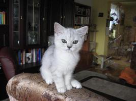 Foto 3 Britisch silberne Kätzchen mit Papiere