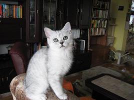 Foto 4 Britisch silberne Kätzchen mit Papiere