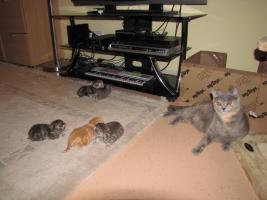 Foto 5 Britische BKH Kitten