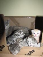 Foto 6 Britische BKH Kitten