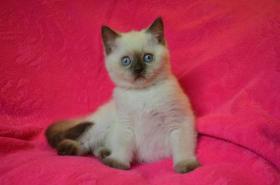 Foto 4 Britische Kätzchen mit Papiere in verschiedenen Farben