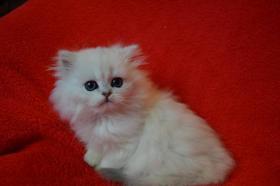 Foto 5 Britische Kätzchen mit Papiere in verschiedenen Farben
